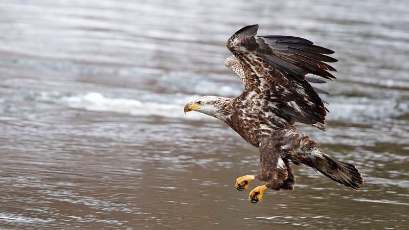 Águila volando sobre el rio