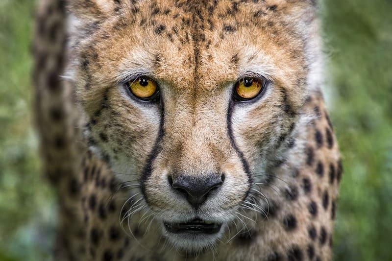 El guepardo es el animal más rápido de la Tierra.