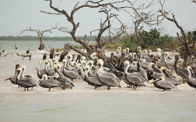 Los prismáticos marinos con un campo de visión amplio son mejores para seguir el vuelo de los pelicanos.