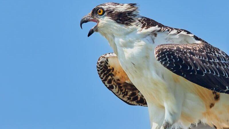 El águila pescadora es un ave rapaz que se alimenta de peces.