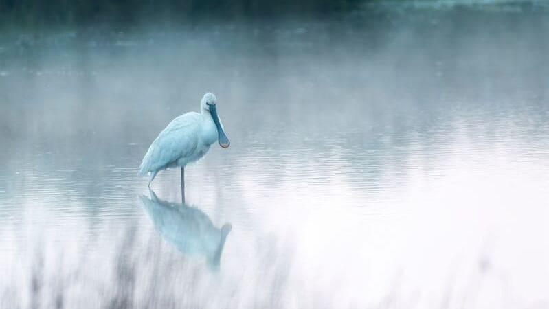 La espátula es un ave que podrás ver en humedales.