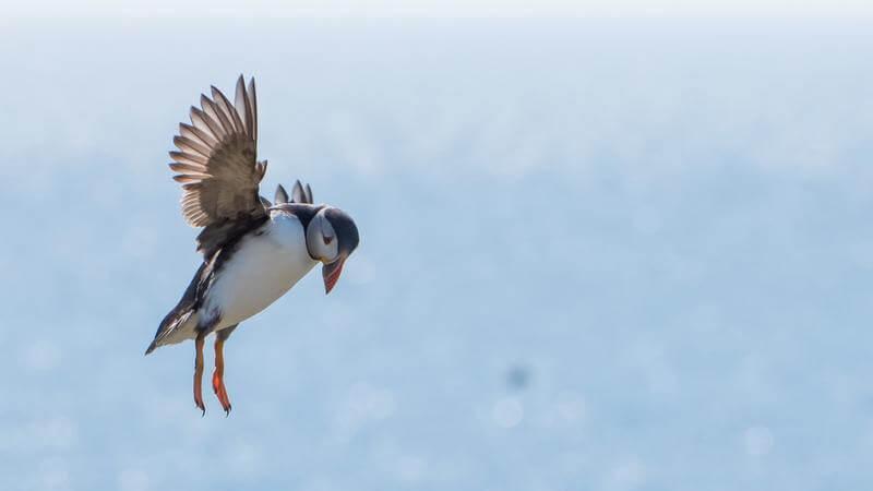 Los puffins pueden volar hasta a 80 km por hora.