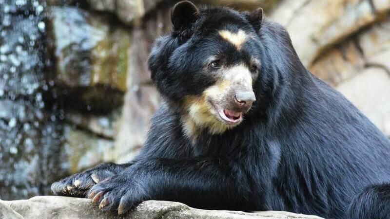 Los osos de anteojos solo habitan en los Andes.