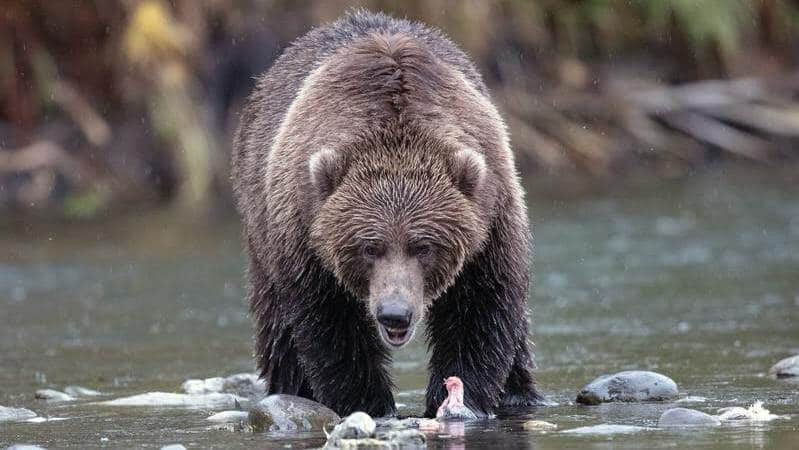 Los osos Kodiak son los osos pardos más grandes del mundo.