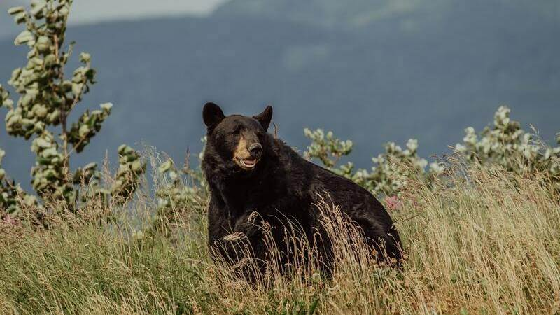 El oso negro americano es la especie de oso más numerosa.