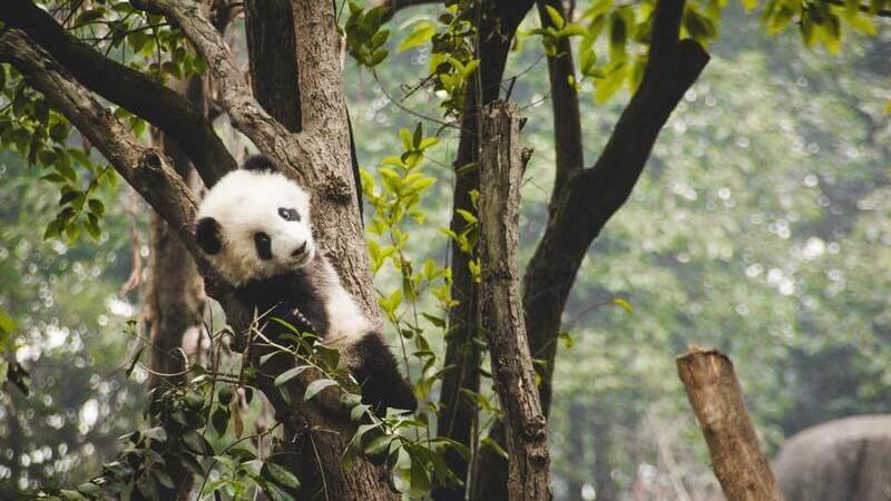 El oso panda está en peligro de extinción.