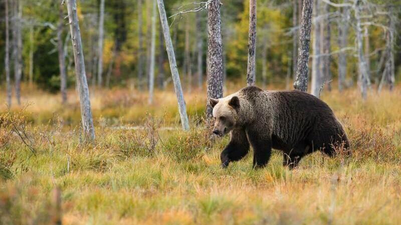 Los osos pardos habitan en bosques y montañas de Europa, Asía y América del Norte.