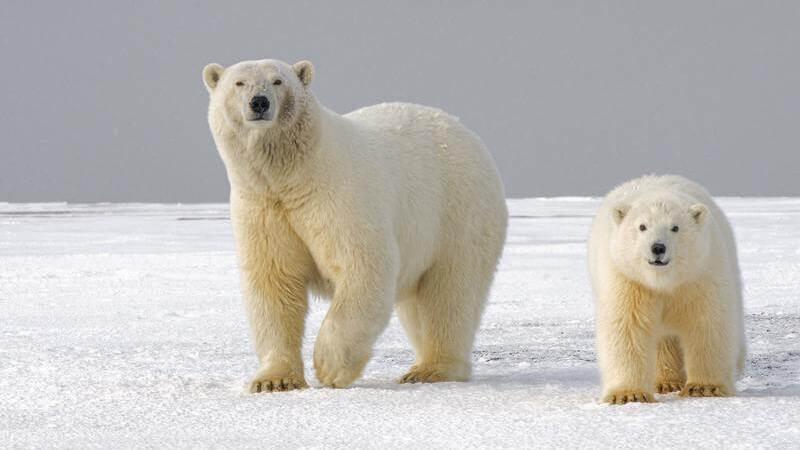 Los osos polares habitan en lugares como Canada, Alaska, Rusia, Groenlandia y Noruega.