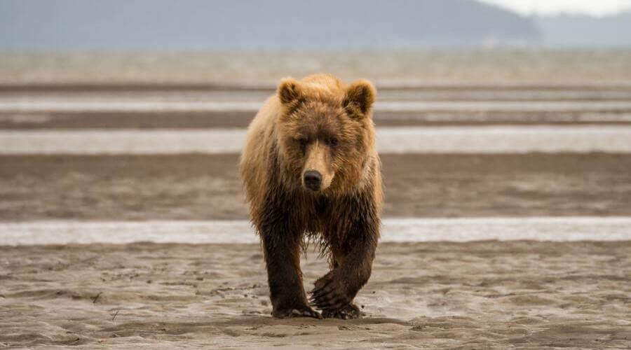 Hay muchas especies de oso distintas que tienen características y hábitats diferentes.