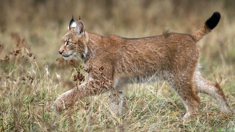 El lince es un felino que tiene las patas fuertes, manchas y las orejas alargadas