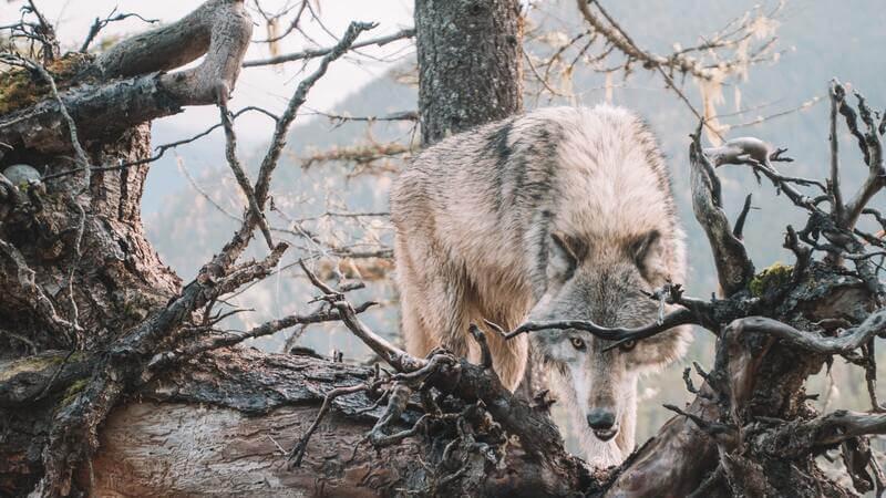 Los lobos de canadienses son más grandes que los que habitan más al sur.