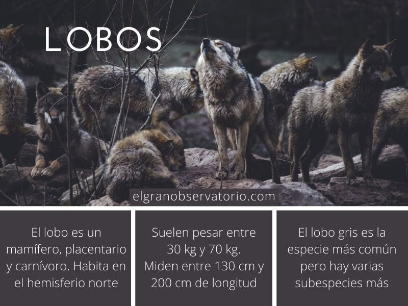 El lobo es un carnívoro que pertenece a la familia de los cánidos.
