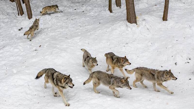 El lobo de las grandes llanuras habita en la zona este de Norteamérica.