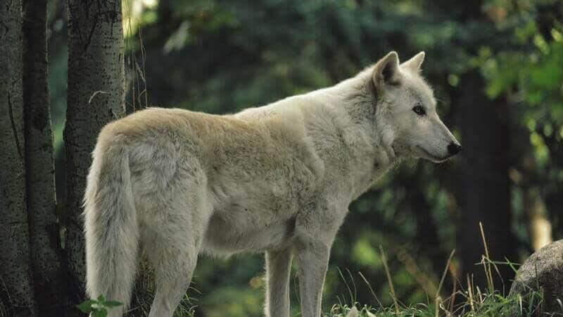 El lobo de Vancouver habita exclusivamente en esta región de Canadá.