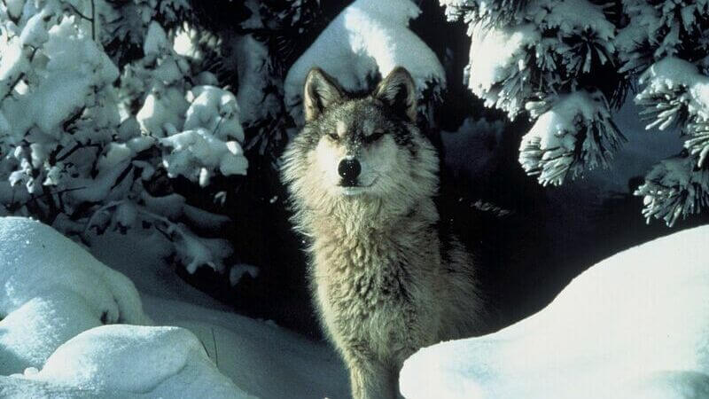 Los del norte las Montañas Rocosas están en grave peligro de extinción.
