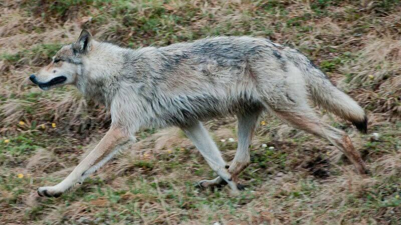 El lobo del Yukón habita en Alaska y en noroeste de Canadá.