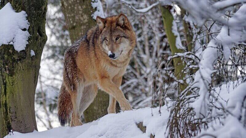 El lobo gris eurasiático es la especie más común.