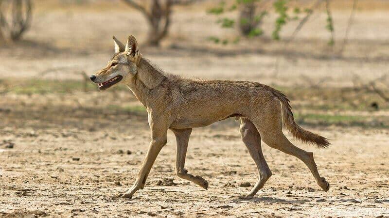 El lobo indio es más pequeño y tiene un pelaje más corto que el del lobo gris.