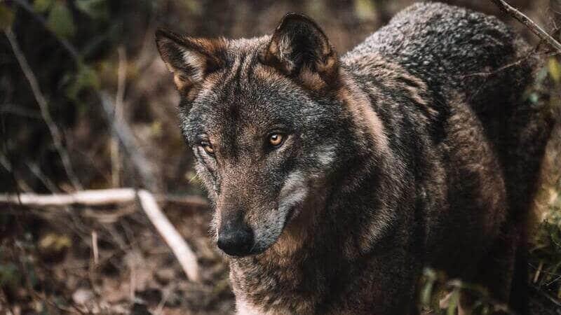 El lobo italiano habita en los Montes Apeninos.