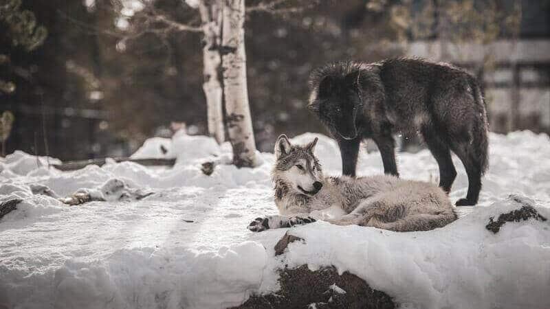 Los lobos negros no son una especie distinta al lobo gris.
