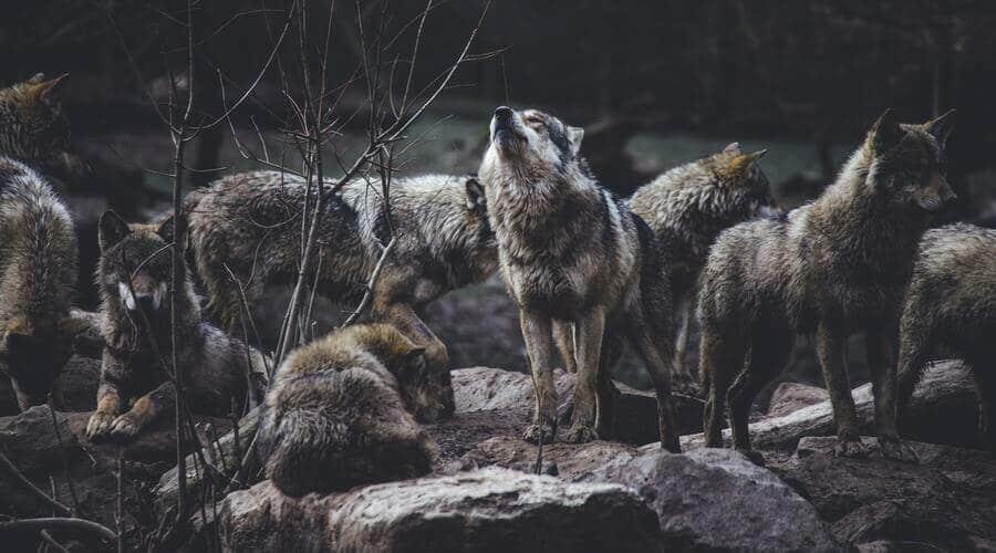 Hay varias especies de lobo distintas, aunque la mayoría son subespecies del lobo gris.