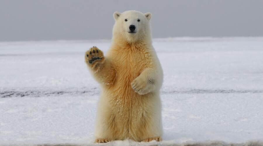 En un buen libro de animales para niños siempre hay sitio para los osos polares.